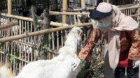 Sertifikasi Hewan Kurban di Banyuwangi Lintasjatim.com