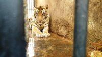 Harimau Koleksi Maharani Zoo yang Disebut Kurus