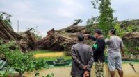 Pohon Beringin di Alun-Alun Lumajang Tumbang
