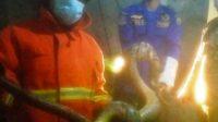 Ular Piton 3 Meter Ditangkap Petugas